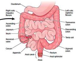 Major Organs - Flora\'s Science Website
